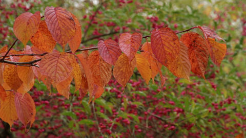 golden autumn Stock Video Footage