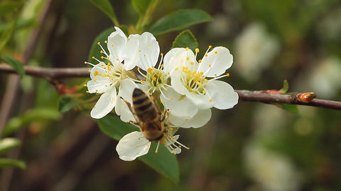 Apple blossom Footage