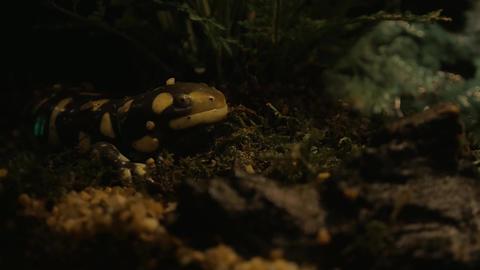 Tiger salamander exposed in oceanarium Footage
