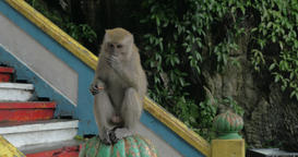 At Batu Caves, Malaysia man give to monkey food and she is sitting on railing an Footage