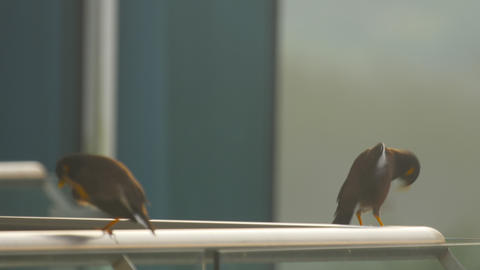 Two Common Myna birds (Acridotheres tristis) Footage