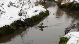 Several ducks at polluted creek, early winter time, snow at ground banks Footage