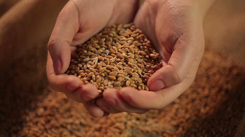 Hands holding wheat grain, result of harvesting campaign, agriculture business Footage