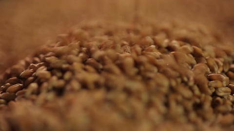 Close-up shot of select wheat grain pouring, country's agricultural production Footage