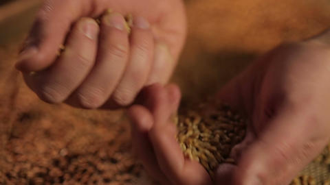 Promotional campaign for agricultural company, human hands pouring wheat grain Footage
