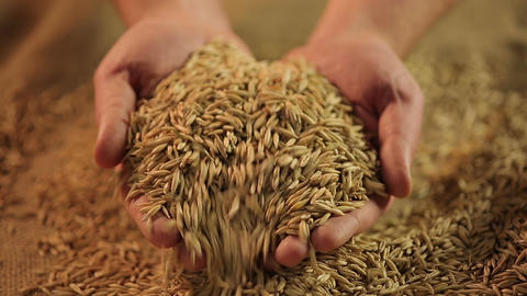 Man holding handful of select oat grain, organic oatmeal production, agriculture Footage