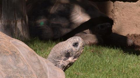 Galapagos giant tortoise turtles - Chelonoidis nigra Live Action