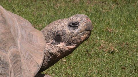 Galapagos giant tortoise turtle - Chelonoidis nigra Live Action