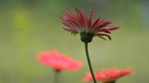 Close shot of gerbera Footage