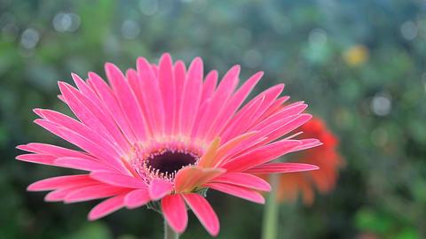 Close top shot of Gerbera garden flower Live Action