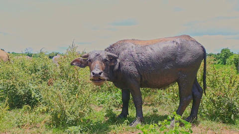 Closeup Bull Grazes on Green Tropical Meadow at Daytime Footage