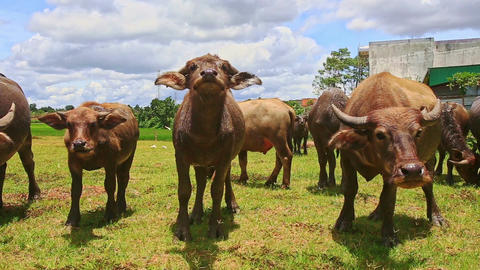 Closeup Bulls Flock Ruminate on Green Grass Tropical Meadow Footage