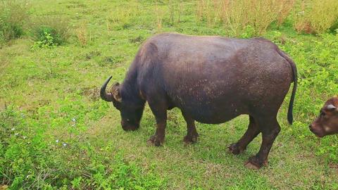Closeup Bull and Calf Graze on Green Grass Meadow Footage