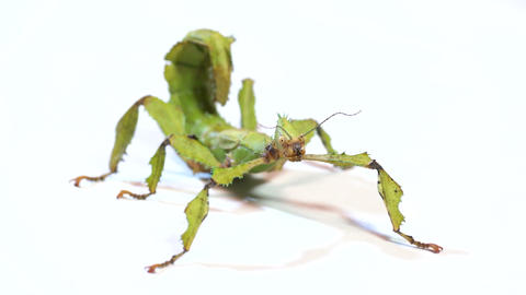 2 Studio Shot Of Stick Insect Or Walking Stick Live Action