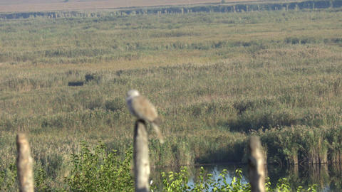 Collared dove at morning Stock Video Footage