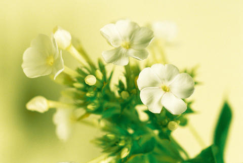 Decorative flowers フォト