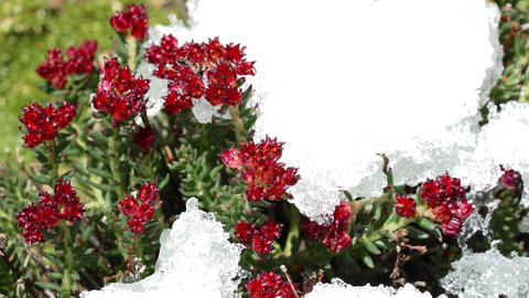 Red Flowers Snow Melting Time Lapse 4K Footage
