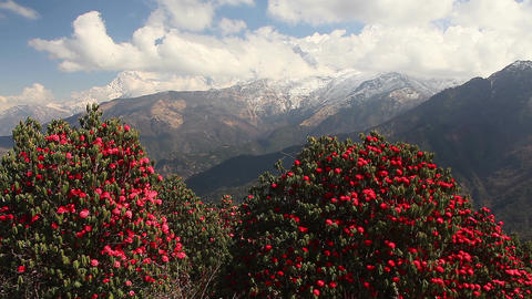 Rhododendrons Himalaya Spring Footage