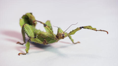 1 Stick Insect Or Walking Stick On White Background Live Action