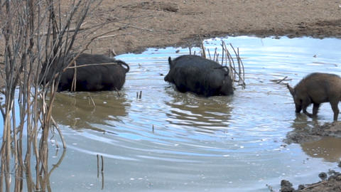 Wild pigs cross a dirty creek Live Action