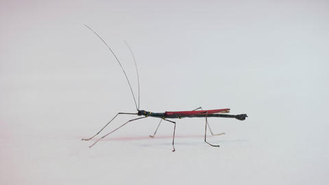 7 Male Stick Insect Or Walking Stick On White Background Live Action