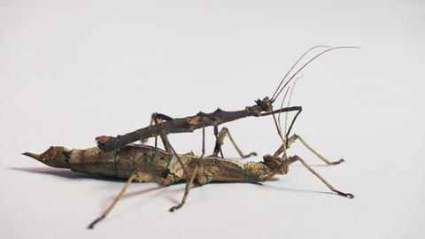 10 Two Exotic Phasmids Or Stick Insects Or Stick Bugs Live Action