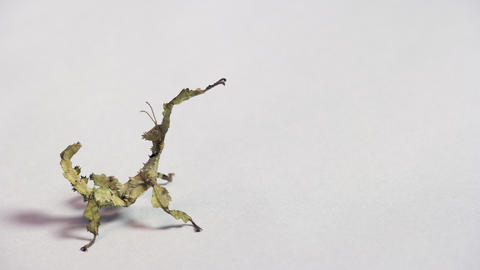18 Young Stick Insect Or Stick Bug On White Background Live Action