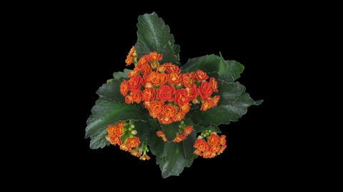 Time-lapse of opening orange kalanchoe flower in RGB + ALPHA matte format, top 画像