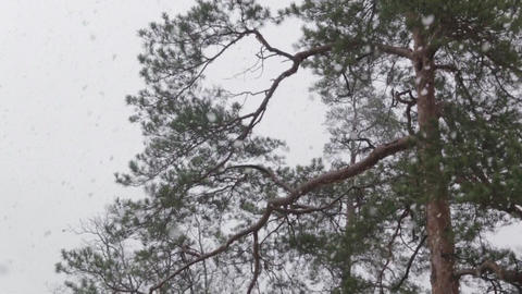 Snow in the Pine Forest Tilt Down 50 fps Footage