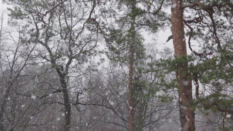 Snow in the Pine Forest Tilt Up 50 fps Footage