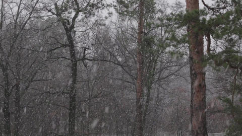 Snow in the Pine Forest Footage
