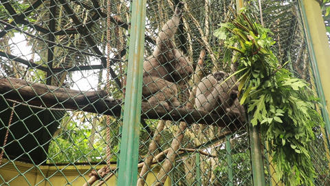 gibbons are eating food in a cage. A group of Gibons eat leaves in a cage at the Live Action