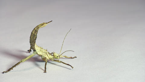 8 Studio Shot Of Exotic Stick Insect Or Walking Stick Live Action