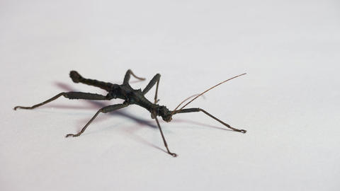 15 Male Stick Insect Or Stick Bug Walking On Background Live Action