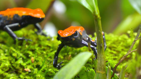 Strawberry Poison Dart Frog Couple Dendrobates Pumili Footage