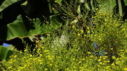 Swallowtail butterfly (Papilio machaon) on yellow flower Footage
