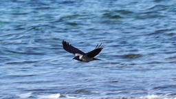 Two Hooded crows flying above the ocean, slow mo Footage