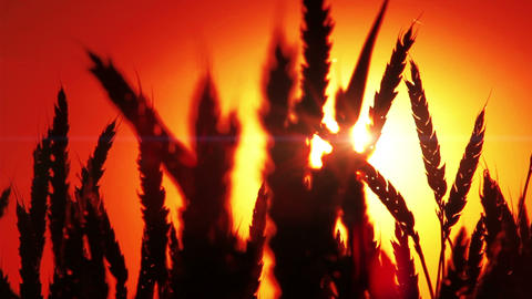 Beautiful Sunset Scene In Wheat Footage