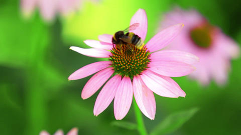 Bumblebee Flies From Flower Stock Video Footage