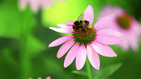 Bumblebee Flies From Flower Stock Video Footage