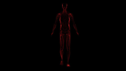 Anatomy of the human body: muscules Stock Video Footage