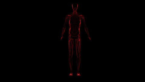 Anatomy of the human body: muscules Animation