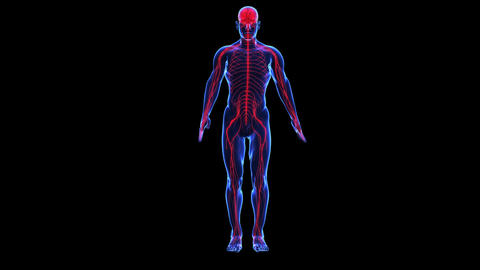 Anatomy: skin and nervous Animation