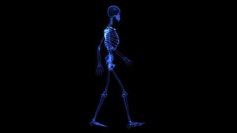 natomy: skeleton Animation