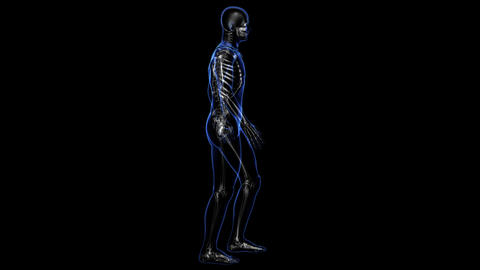 Anatomy: skin and skeleton Animation