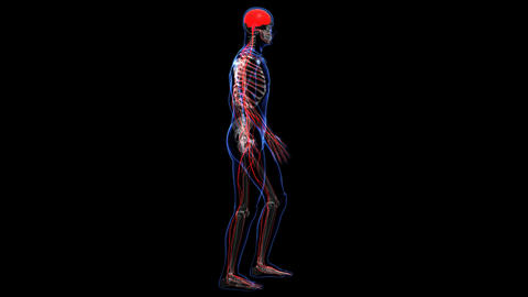 Anatomy: skin, skeleton and nervous Stock Video Footage