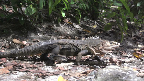 Lizard Slowmotion Footage