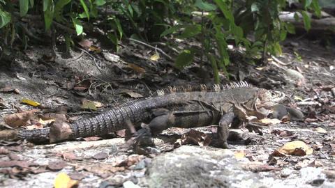 Lizard Slowmotion Stock Video Footage