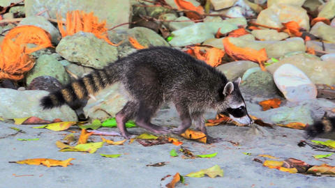 Raccoons on the beach 02 Stock Video Footage