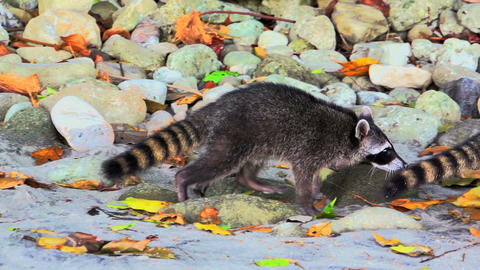 Raccoons on the beach 02 Footage